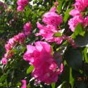 Beautiful Pink Bougainvillas